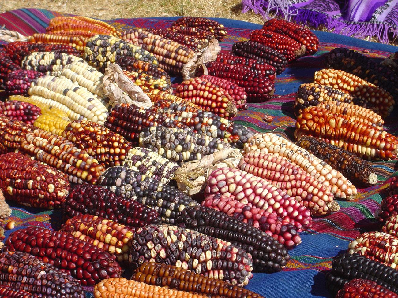 Growing Corn the Inca Way